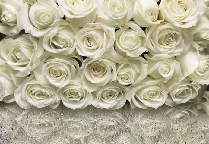 White roses photo wall mural